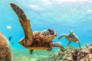 Leatherbacks in water